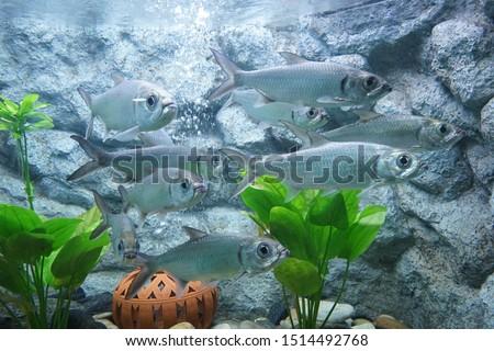 Indo-Pacific tarpon, Pacific tarpon, Oxeye. School of fish in Aquarium, Thailand #1514492768