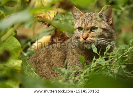European wildcat in beautiful nature habitat. Very rare and endangered animal. Felis silvestris. Wild eurasian animals. European wildlife. Wildcats. Royalty-Free Stock Photo #1514559152