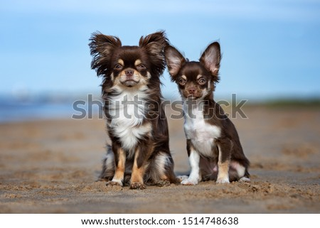 chihuahua dog and puppy sitting outdoors
