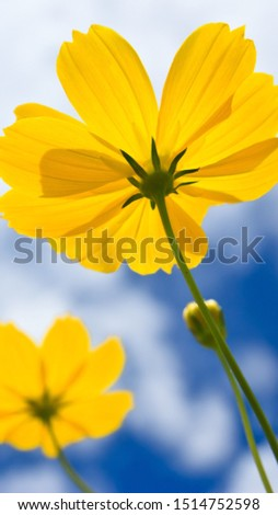 Yellow colour very nice flower natural pic