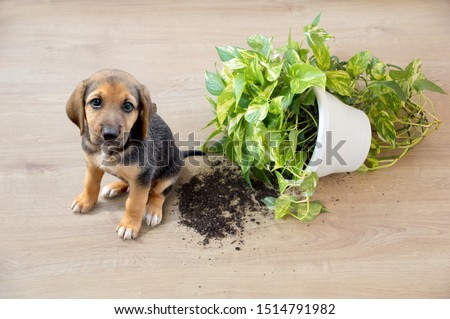 Mischievous toy dog and overthrown house plant indoors #1514791982
