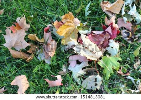 Colorful leaves from all types of seasonal stages grouped together on flush green grass #1514813081