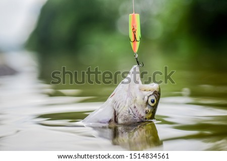Bait spoon fishing accessory. Victim of poaching. On hook. Trout caught. Fish hook or fishhook is device for catching either by impaling in mouth. Fish in trap close up. Fish open mouth hang on hook. #1514834561
