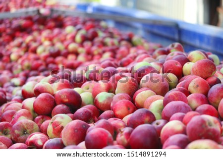 Many red apples on a truck closeup , apple harvest in autumn , juicy apples , fruit processing #1514891294