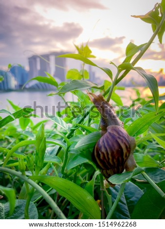 Snail climbing on plant in the evening beside the river opposite landmark building of Singapore at sunset. Slow life concept. Slow travel in Singapore. Snail in garden. Closeup invertebrate animal. #1514962268