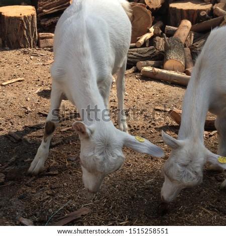 Macro photo goat farm. White animal goats on the farm.