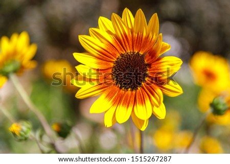 Decorative sunflower with yellow and orange petals on bright blurred background #1515267287