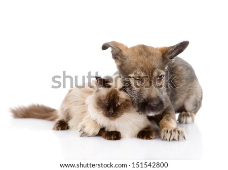 mixed breed puppy and cat together. isolated on white background #151542800
