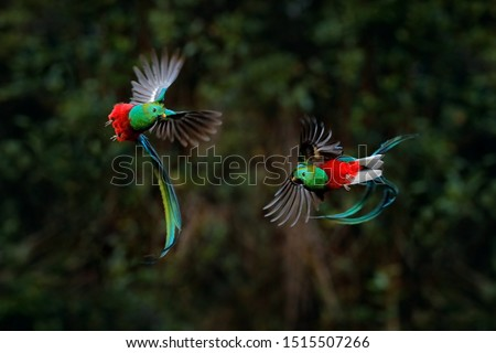 Quetzal, Pharomachrus mocinno, from tropic in Costa Rica with green forest, two birds fly fight. Magnificent sacred green and red bird, very long tail. Resplendent Quetzal in flight,wildlife nature. #1515507266