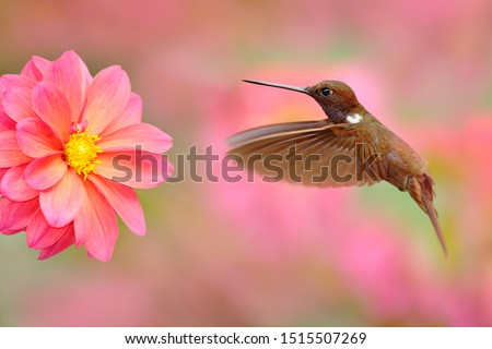 Hummingbird with pink flower. Brown Inca, Coeligena wilsoni, flying next to beautiful pink bloom, Colombia. Bird in the blooming garden. Wildlife scene from nature. Animal in the tropic forest. Royalty-Free Stock Photo #1515507269