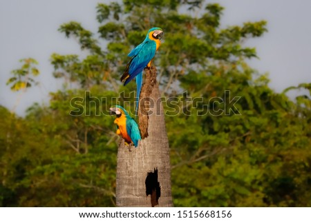 Two Blue-and-yellow macaws on a palm tree stump, looking in different directions, side view, against green defocused natural background, Amazonia, San Jose do Rio Claro, Mato Grosso, Brazil #1515668156