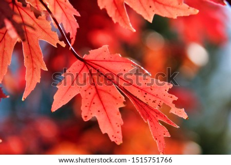 Fall colors red leaves beautiful #1515751766