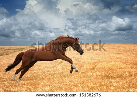 Brown horse running gallop in wheat field, picture for chinese year of horse 2014