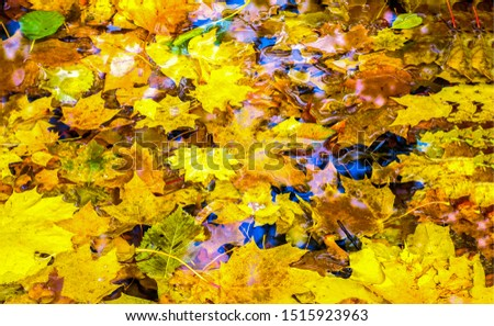 Autumn maple leaves in puddle. Autumna leafs in puddle of water. Autumn maple leaves puddle. Autumn leaves in puddle #1515923963