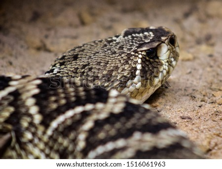 Eastern Diamondback close up picture #1516061963
