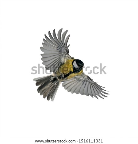 one small bird tit with large wings and spread feathers flying on white isolated background #1516111331