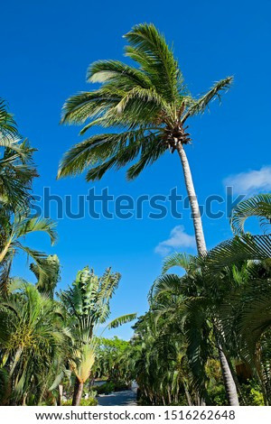 Palm grove in Saint Lucia, Caribbean #1516262648