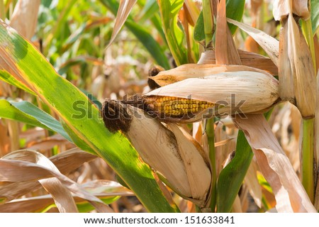 Corn on the stalk in the field #151633841
