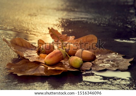 Background with autumn acorns and leaves close-up. Acorns macro. Acorns on a leaf of oak with drops of water. Acorns after rain. #1516346096
