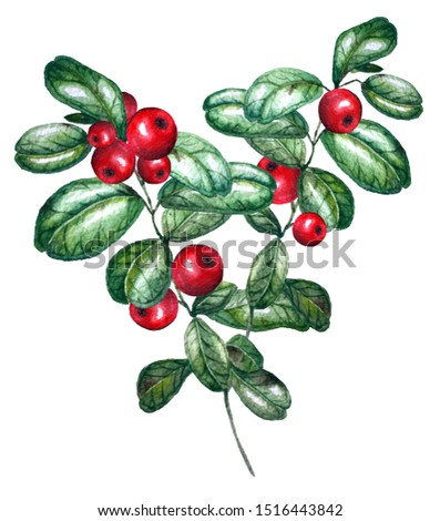 Watercolor illustration.  Cowberry isolated on a white background. #1516443842