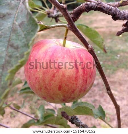 Macro photo pink apple on branch. Photo apple tree with juicy apple