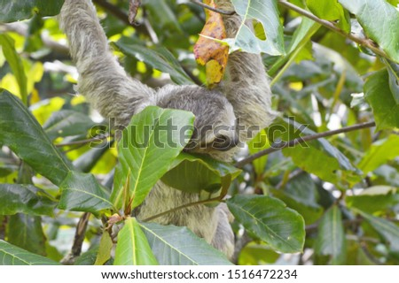 Hanging young Sloth climbing a tree in the rainforest of Costa Rica, lush green leaves in the jungle in Central America, brown branches, head peeking through leaves, adult #1516472234