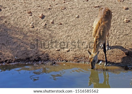 A picture of a gazelle drinking from the river