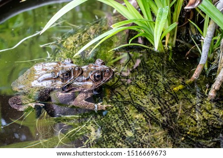 toad (Bufonidae ). Reproduction Common toads during copulation.Female toads are laying eggs in the water. #1516669673