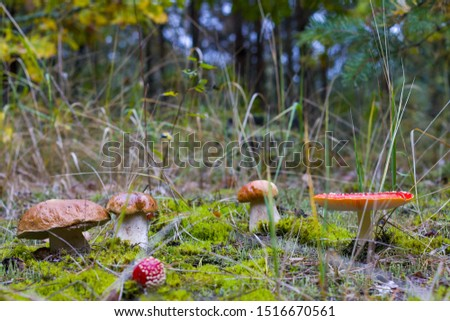 Edible and inedible mushrooms grow. Amanita and porcini mushroom grows in autumn forest. Red agaric and ceps growing in wood #1516670561