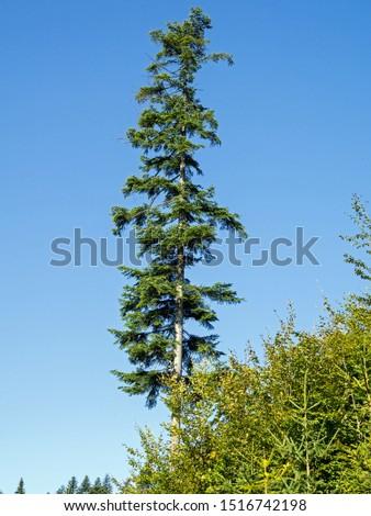 Abies alba, the European silver fir or silver fir is a fir native to the mountains of Europe, #1516742198