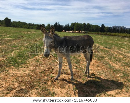 Grey donkey in field.Donkey with a haircut on his head  #1516745030