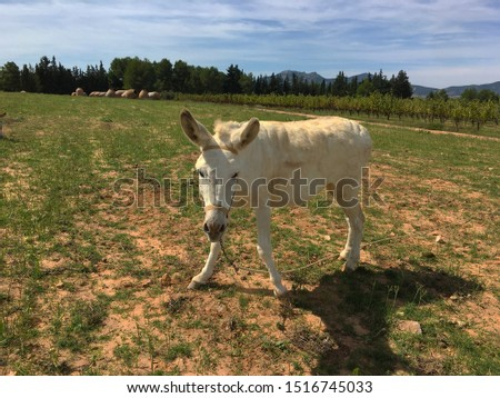 Grey donkey in field.Donkey with a haircut on his head  #1516745033