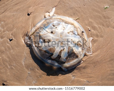 dead jellyfish on beach outside nature sunny day animal wildlife - Worms Head; Wales; UK #1516779002