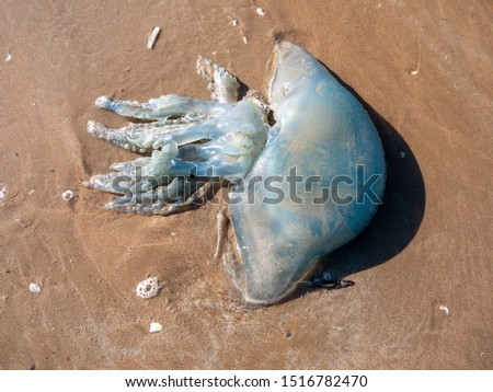 dead jellyfish on beach outside nature sunny day animal wildlife - Worms Head; Wales; UK #1516782470