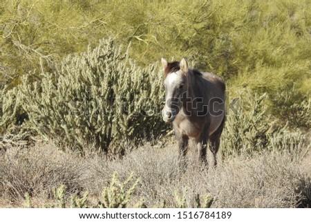 Wild horse roaming the Sonoran Desert, Salt River, Mesa, Arizona.