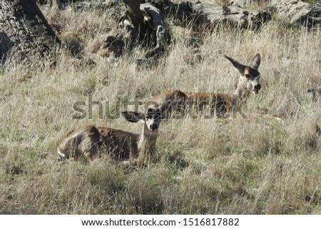 Mule deer, Tehachapi Mountains, Stallion Springs, California.