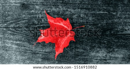 Canada Day maple leaves background. Symbol picture for Canada Day 1st July. Happy Canada Day real maple leaves in shape of Canadian Flag. Branch with maple leaves. Best picture of maple leaves. #1516910882