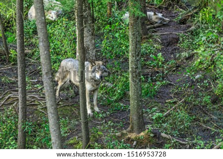 Wolves pack among trees in a dense forest. The wolf in the alert guards the sleep of other wolves. Real gray wolf running, in the Canadian forest during the summer or fall season.