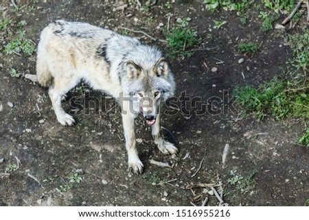 Real gray wolf running, in the forest background. Close to wolf in natural environment. Close up portrait of a Timber wolf in the Canadian forest during the summer or fall season.