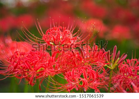 fantastic Red Spider Lillies Bloom #1517061539