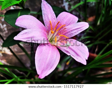 Pink Lily Flower Photography By Apoorve Verma