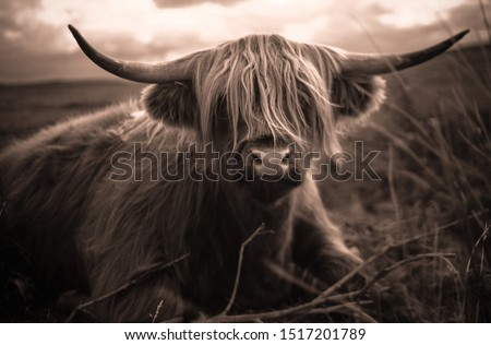 Hairy scottish highland cow, sepia #1517201789