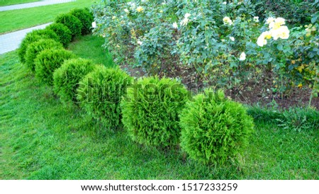 Row of green trees shrubs in the city park. Row of thuja trees. globular thuja Danica #1517233259