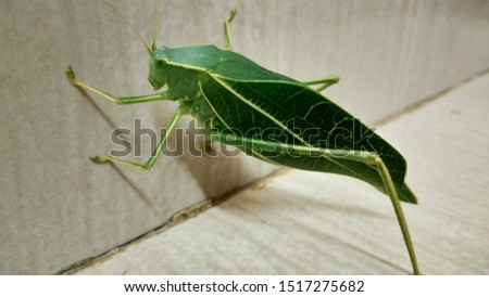 A pic of green leafy like insect.