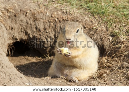 the gopher climbed out of the hole on the lawn, cute fluffy gopher eating food.