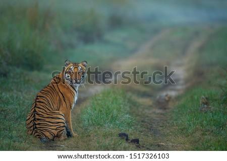 The Gazing Tiger, Corbett National Park, India Royalty-Free Stock Photo #1517326103