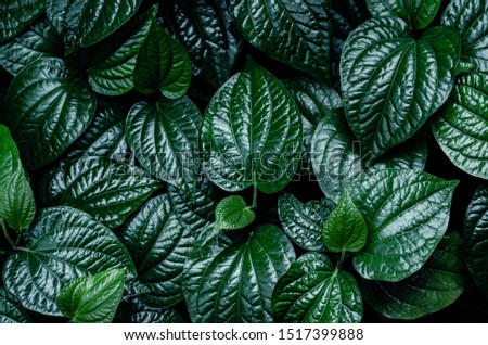 Closeup dark green leaf. Abstract leaves nature background. #1517399888