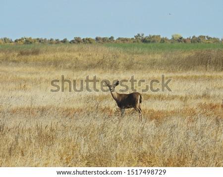 Mule Deer, San Luis National Wildlife Refuge, San Joaquin Valley, Central California.