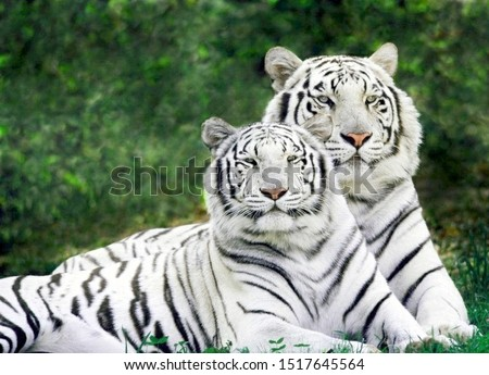 Beautiful White Tigers Couple In Forest Royalty-Free Stock Photo #1517645564