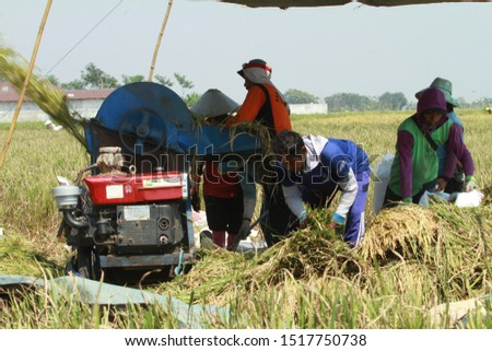 Pekalongan/Indonesia - September28, 2019 : the farmers are working in the fields because the harvest season has arrived #1517750738